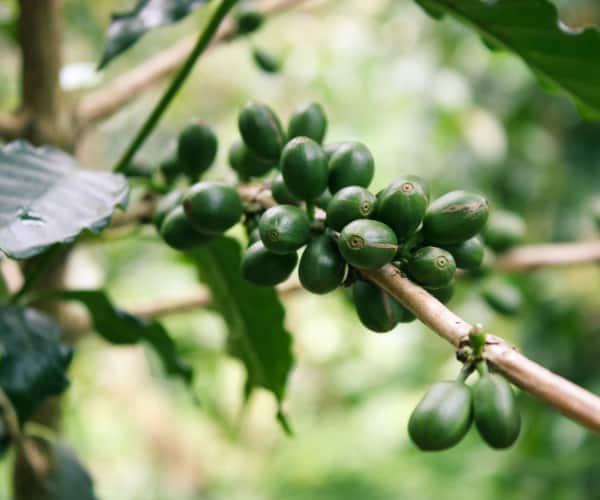 Arabica Green Coffee - Vicky Mar Naturals Weight Loss Coffee Vanilla